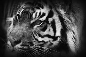 b&W tiger